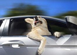 Lordello: Você transporta seu cachorro com segurança?