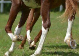 Flávia Raucci: Por que os cavalos usam ferraduras?
