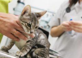 Rodrigo Donati: Micoplasmose felina