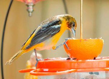 Rodrigo Donati: Nutrição em aves