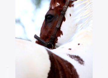 Flávia Raucci: Cavalos e suas diferentes pelagens