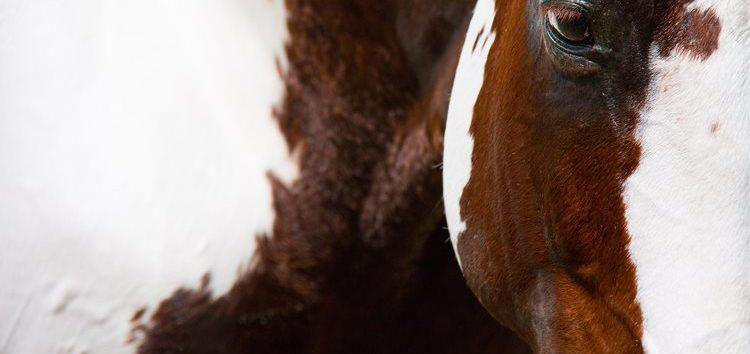 Flávia Raucci – Pampa: pelagem ou raça?