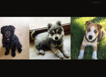 Donati – Pugapoo, Chowsky, Pitsky: já ouviram estes nomes antes?