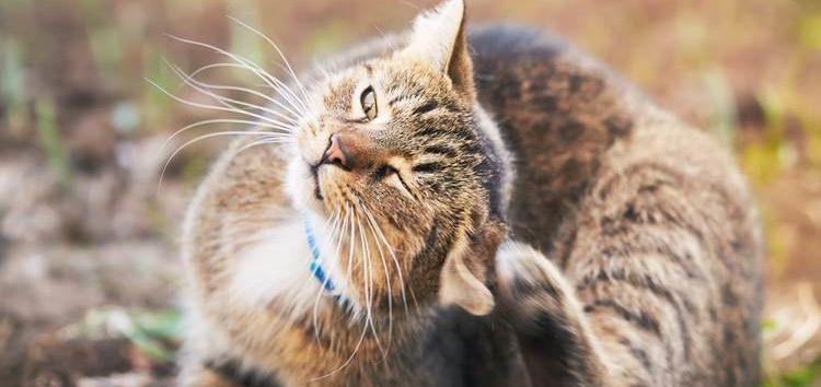 Donati: A importância do controle de pulgas em felinos