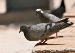 Rodrigo Donati – A doença dos pombos: criptococose