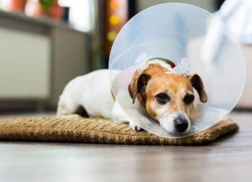 Rodrigo Donati: Hiperplasia prostática canina