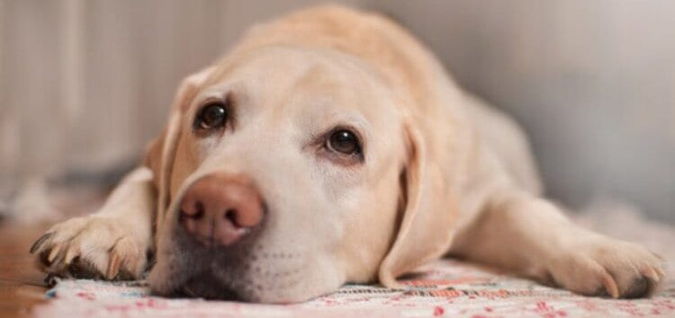 Rodrigo Donati: Depressão pós-parto em cadelas
