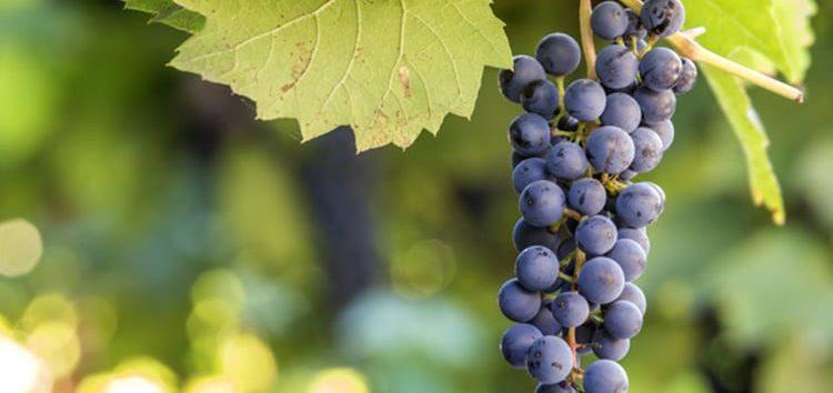 Iramaia Loiola: As 4 uvas tintas mais famosas